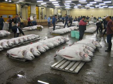 Frozen Tuna Auction