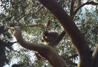 Koala in a Tree (squint and you can see it)