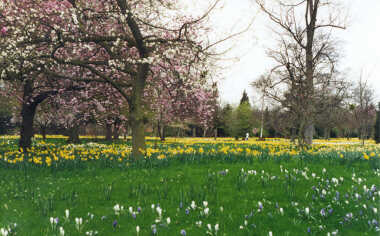 Hampton Court Palace - The Gardens in Spring (with the daffodils in bloom)